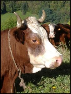 ficelle_vache
