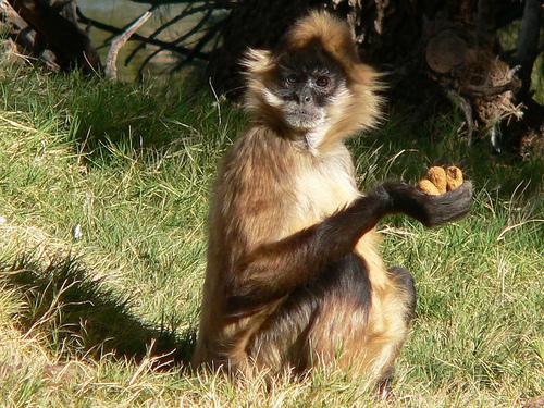 monkey_nuts