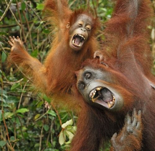 funny-smiling-laughing-animals-16 orang-outang