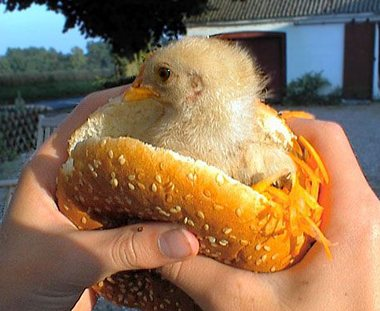 cute pics funny pictures of animals 4859_2430 new chicken sandwich