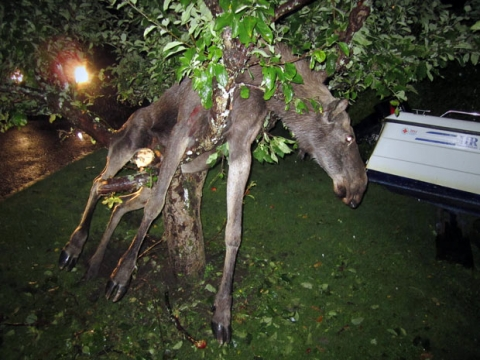 entangle 2011 09 13 10 50 14 8 a moose is entangled in an apple tree in goteborg
