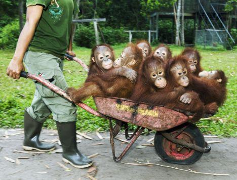 singes dans une brouette