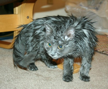 Pictures-Wet-Cats