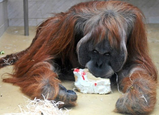 EatingItsBirthdayCake-OrangUtan01