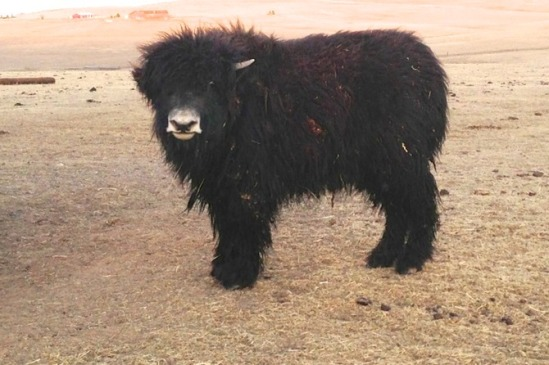 milos-yak-heifer-grunniens-_med